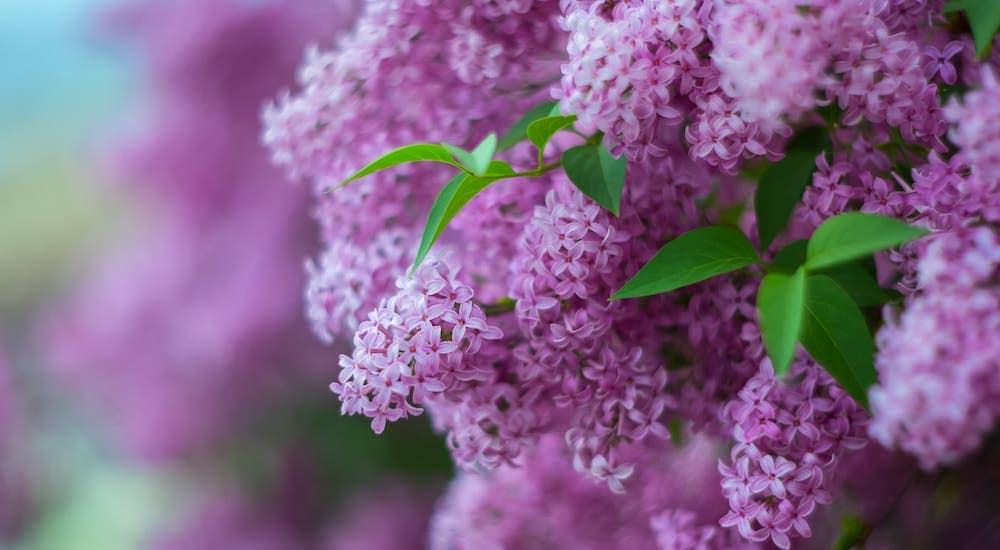 A closeup of a lilac flower from a festival in Rochester, NY.