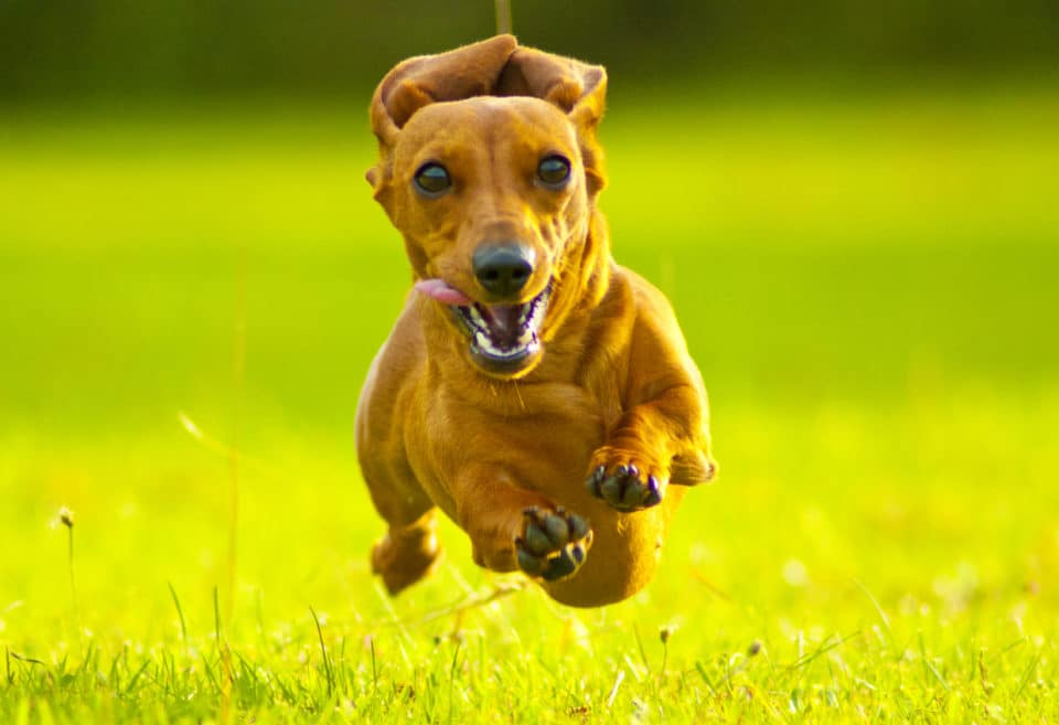 A Miniature Smooth Haired Dachshund running fast and flying through the air directly at the camera, in a grass field.